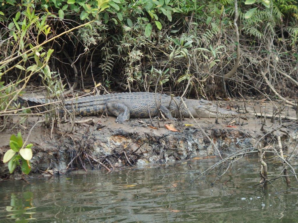 Crocodilo na Daintree Forest, Austrália