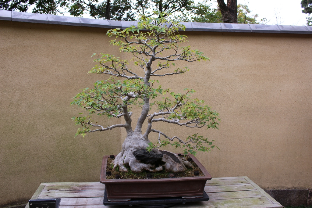 Trident maple - 100 anos