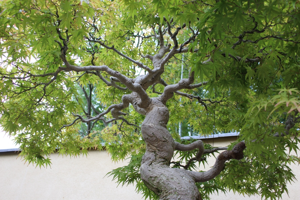 Japanese maple cultivar - 100 anos