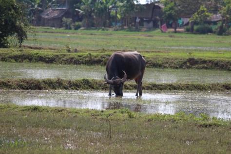 Búfalo, usado para transporte de carga